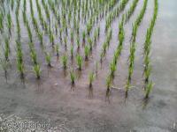 稲_20070610-02