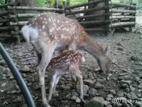 弥彦神社-鹿