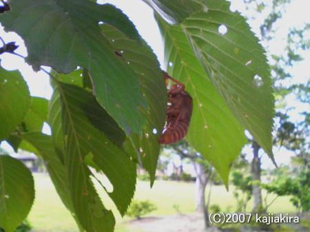 新発田市・五十公野公園-蝉の抜け殻