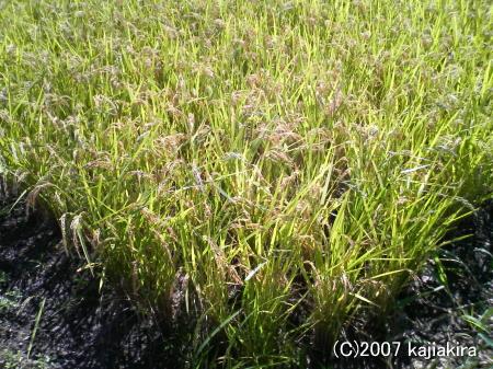 刈り取り直前の稲-新発田市-20070905