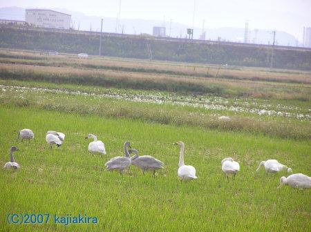 新発田市周辺の白鳥_200710-01