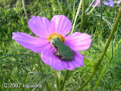 夏のカエル01