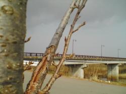 近くの川の土手の桜(まだ蕾です)