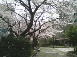 新潟市内の桜
