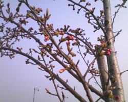 新発田市加治川堤防の桜