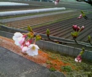 加治川堤防の桜-20070413