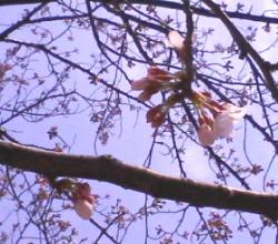 sakura-20070415.jpg