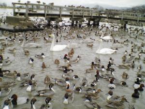 瓢湖の白鳥達と鴨!!!