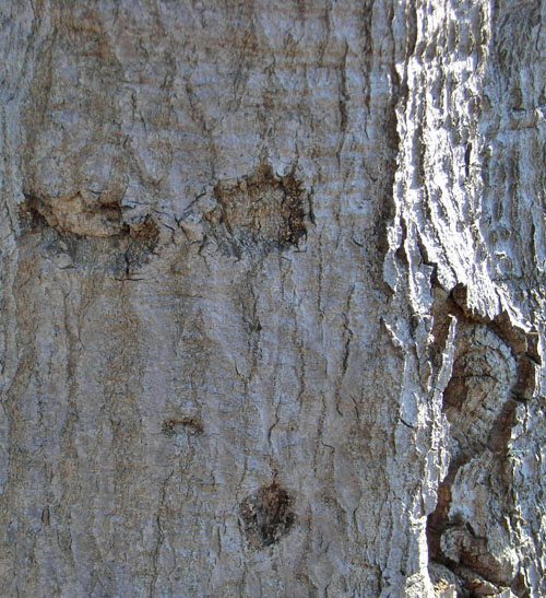 071125耳のある木