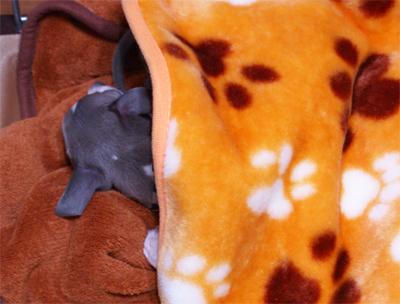 お布団をかけて眠る小太郎