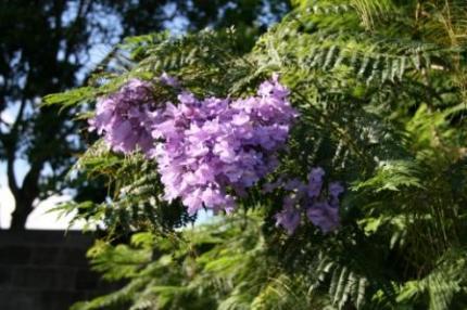 ジャカランダの花。