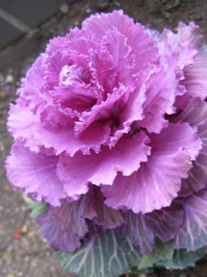 葉牡丹・紫