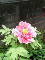 syakuyaku_tubomi428.jpg