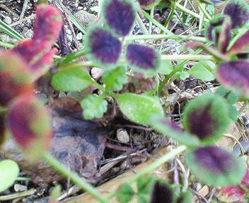ネモフィラの芽