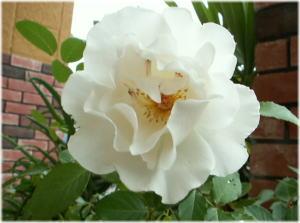 うちのお花~マーガレットメリル