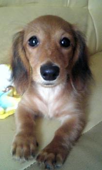 ペット 犬 ダックスフンド メイ