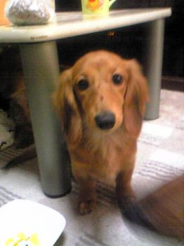 ペット 犬 ダックスフンド 子犬