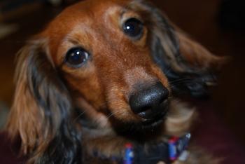 ペット 犬 ダックスフンド チャコ