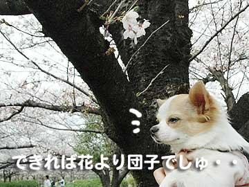 桜まりん1