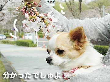 桜まりん2