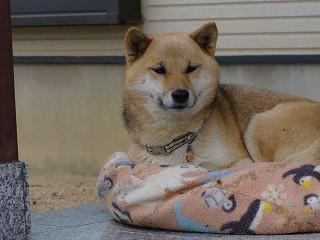お座布団犬1