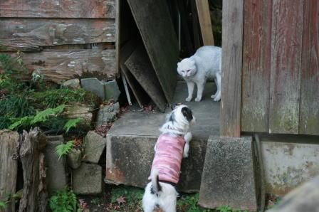 白い猫と対峙するもも