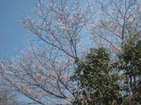 桜と椿01