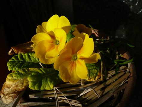 プリムラ12月2