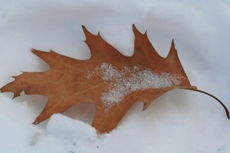 アカナラの落ち葉