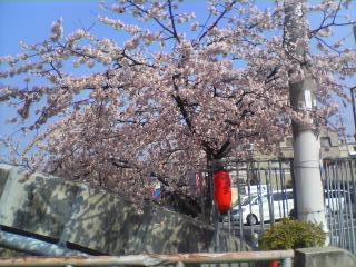 3/21の桜