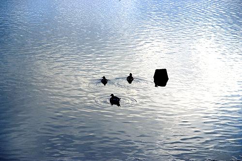 3匹のカモの遊泳♪