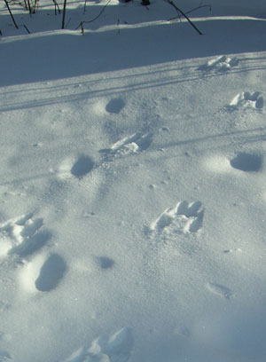 rabbitfootprints.jpg