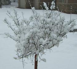 snow031808lilac.jpg