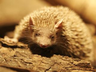 はりねずみ、ハリネズミ、Hedgehog