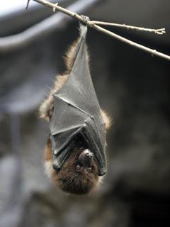 コウモリ,こうもり,蝙蝠,BAT