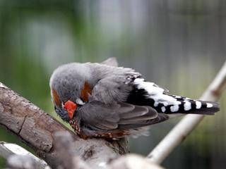 キンカチョウ,七宝鳥,ゼブラフィンチ