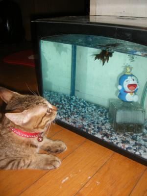 タロウ金魚が気になる