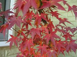 ウチの紅葉