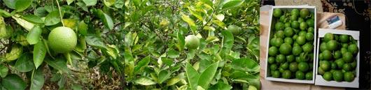 かぼすの収穫