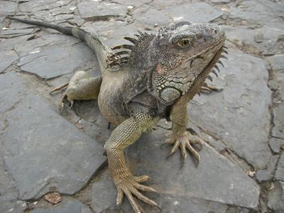 guaイグアナ1