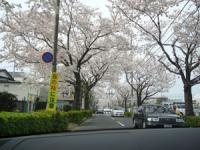 用賀の街中は桜並木