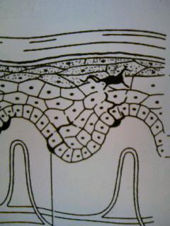 表皮の構造2