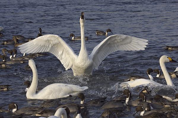 swan_2500.jpg