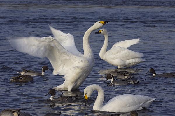 swan_2511.jpg