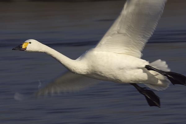 swan_3276.jpg