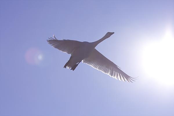 swan_3697.jpg
