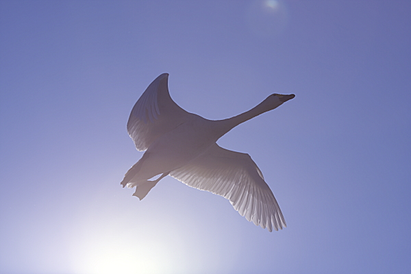 swan_3699.jpg