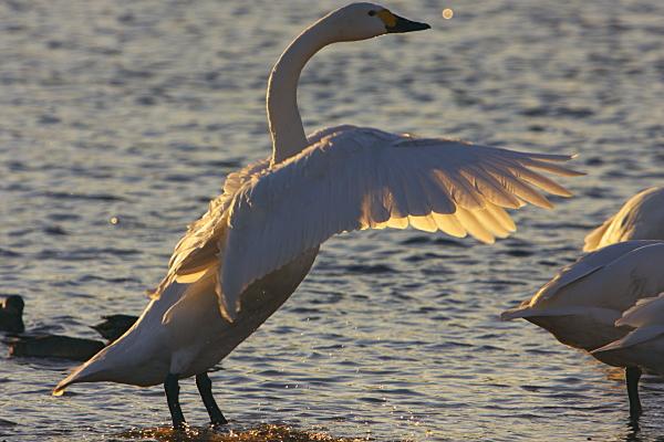 swan_4116.jpg