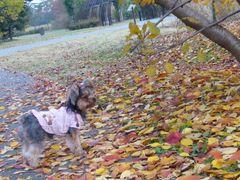 落ち葉の中を散策するモモ
