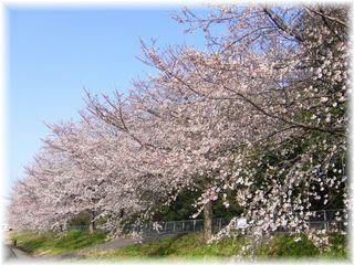 2006年桜並木